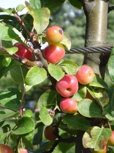 jablka-palenice.jpg